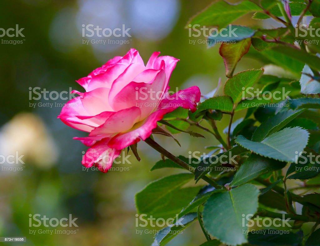 Cherry Parfait Grandiflora Rose stock photo
