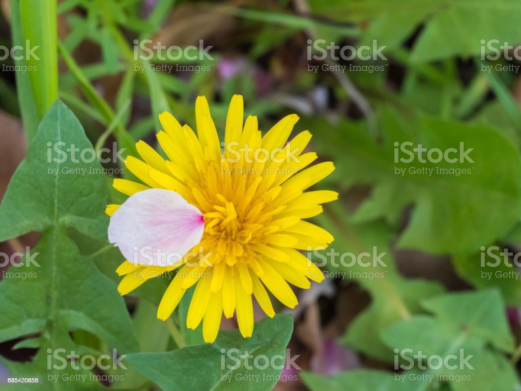A cherry petal on dandelion foto de stock royalty-free