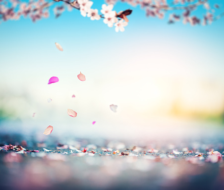 Cherry Petals Falling From The Tree