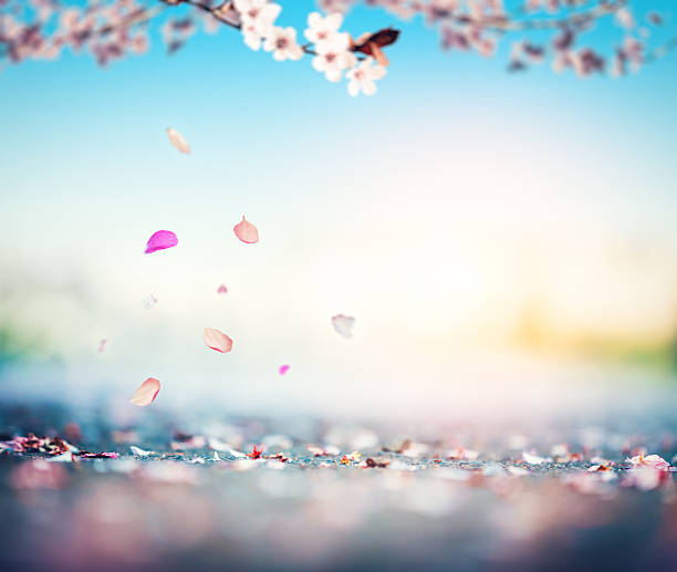 cherry petals falling from the tree - sakura background stock photos and pictures