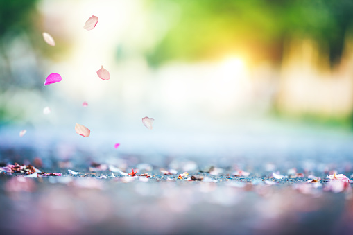 Cherry Petals Falling To The Ground