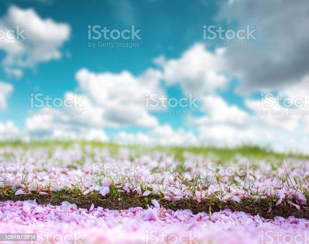 Cherry petals in park picture id1094973914?b=1&k=6&m=1094973914&s=612x612&h=kztej l6nqgmylnqbhe2apocyx2hof632dmg3w0x98e=