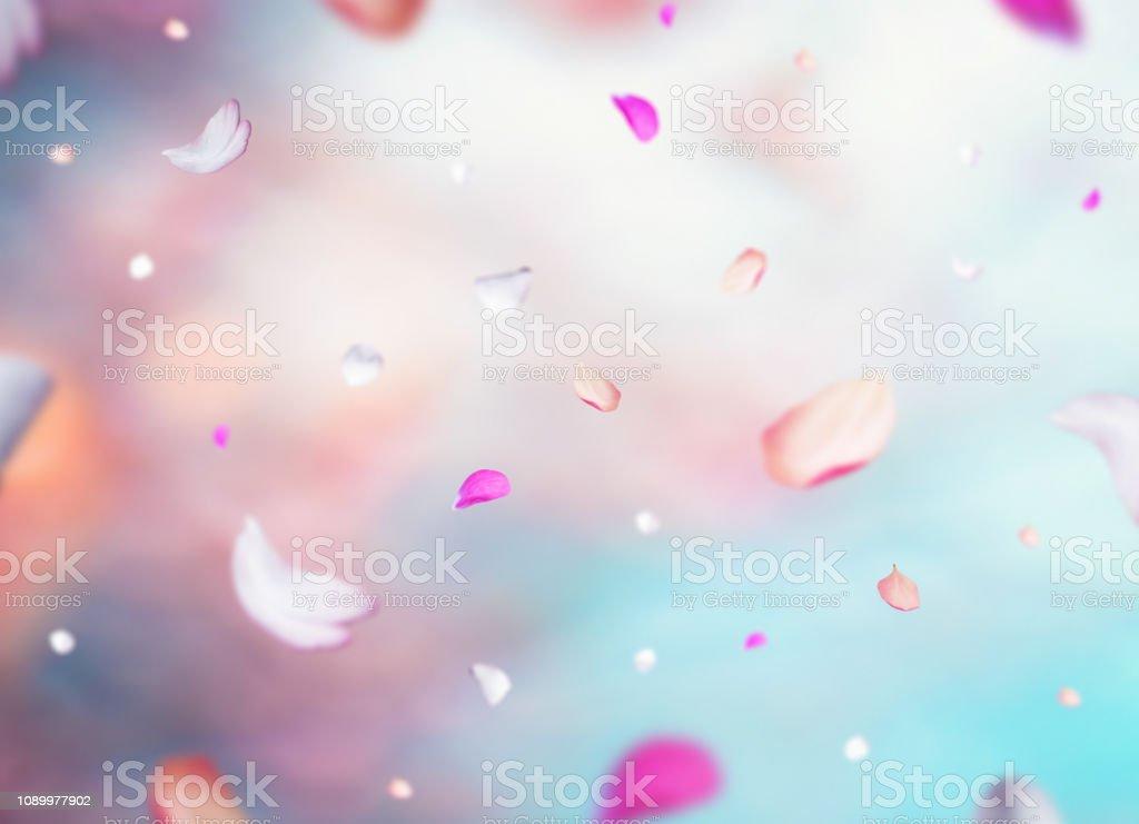 Pétales de cerisier - Photo