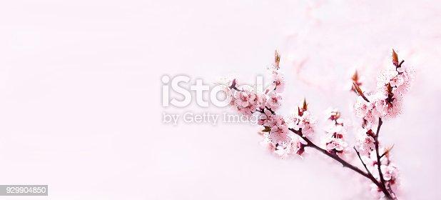 909680446 istock photo Cherry pink blossoms close up. Blooming cherry tree. Sakura tree in bloom 929904850