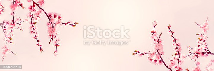 istock Cherry pink blossoms close up. Blooming cherry tree. Spring floral background.  Copy space 1095268714