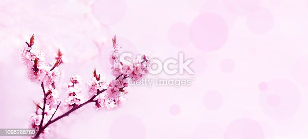 istock Cherry pink blossoms close up. Blooming cherry tree. Spring floral background.  Copy space 1095268760