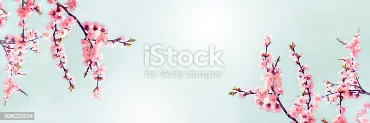 istock Cherry pink blossoms close up. Blooming cherry tree. Spring floral background.  Place for text. Panoramic format 908220534
