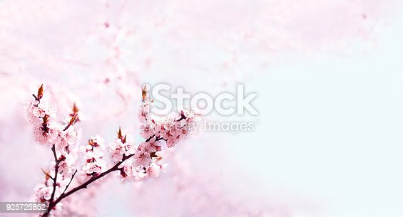 istock Cherry pink blossoms close up. Blooming cherry tree. Spring floral background 925725852