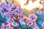 Cherry pink trees blossoms during sunset with amazing colors and lensflares.