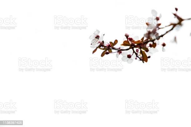 Cherry plum or myrobalan blossoms picture id1138397405?b=1&k=6&m=1138397405&s=612x612&h=geb9 2xuz3gsblfwalli9o58tq7dev lufwdj3n7qem=