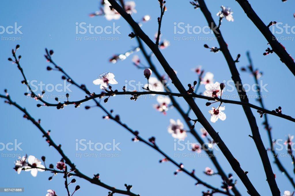 Cherry Plum Tree Bloom Branch Of A Purple Leaf Plum Tree Stock Photo Download Image Now Istock