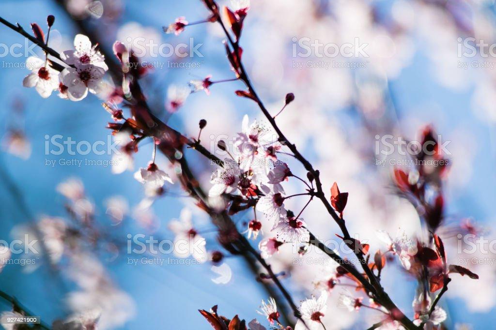 Cherry Plum Tree Bloom Branch Of A Purple Leaf Plum Tree Stock