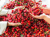 the workers are choosing cherry. fresh organic cherries background. Red fresh bunch of cherries on the table. fresh red cherry heap. cherry selective workers