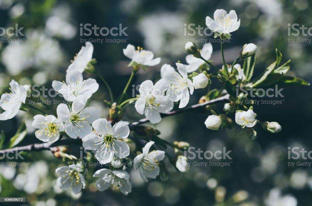 Cherry spring flowers stock photo