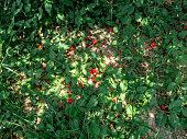 A cherry that falls on the ground,  High vitamin C and antioxidant fruits, nature background