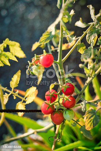 A fresh crop of home grown organic cherry tomatoes growing on the vine.  Close up with copy space.