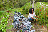 Latino woman picking cherry tomato  on her permaculture garden. Home grown products.