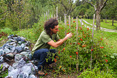 Man picking cherry tomato on his permaculture garden. Home grown products.