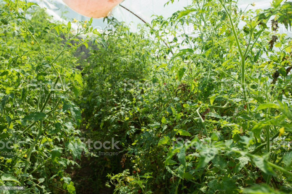 Cherry tomato plants in greenhouse with watering sistem stock photo