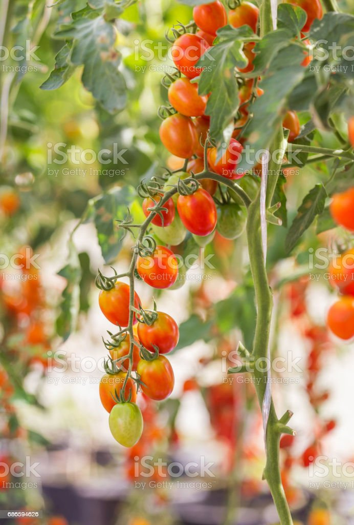 cherry tomatoes hanging in organic farm photo libre de droits