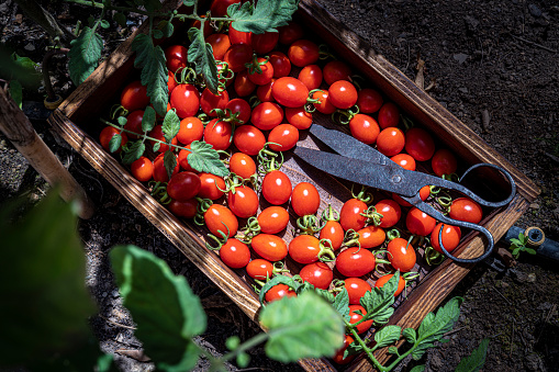 Cherry tomatoes harvest on a wooden box with vintage scissors at Mediterranean homestead field at home small farm