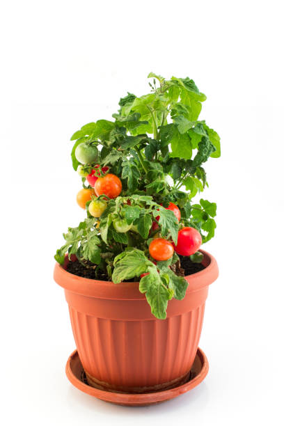 Cherry Tomatoes in a Pot Isolated on White stock photo