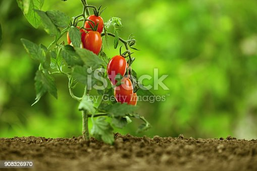 istock cherry tomatoes on the plant, close-up 908326970