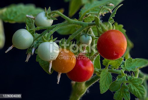 Cherry tomatoes on the vine in the bright sunshine in a backyard garden.  Fourteen image focus stack.  All tomatoes are in focus.