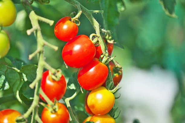 Kirschtomaten Tomaten  – Foto