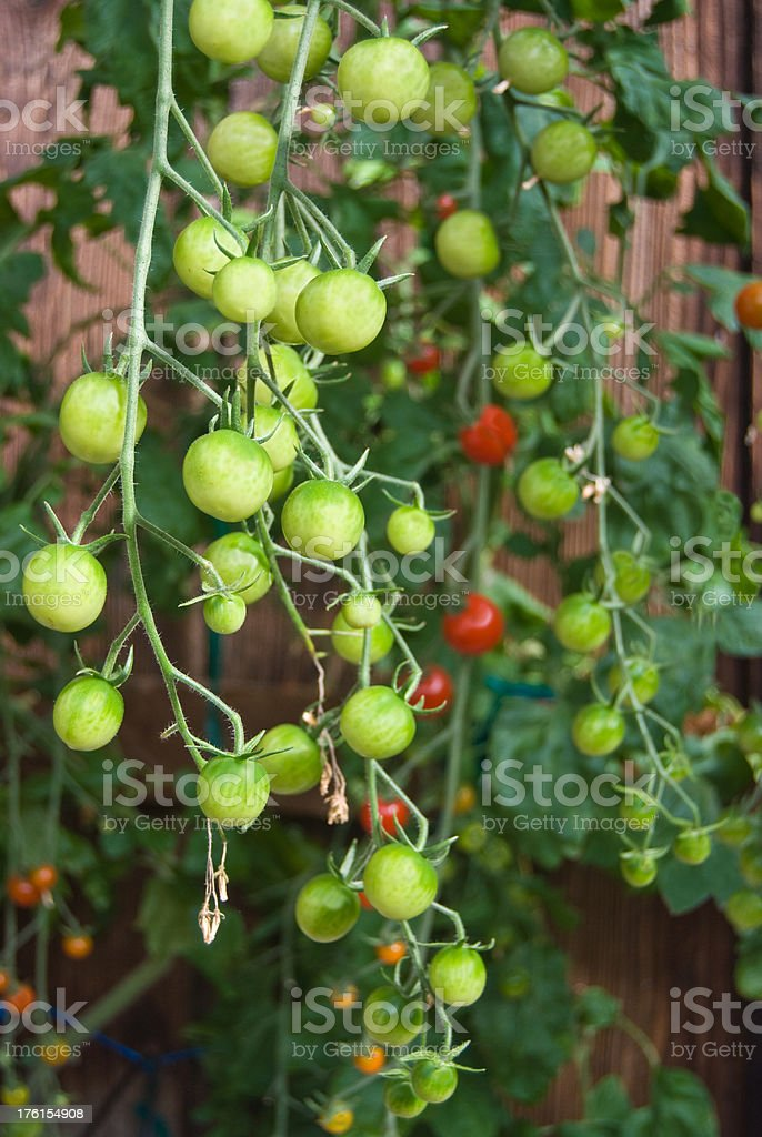 Cherry Tomatoes royalty-free stock photo
