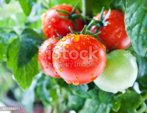 Fresh cherry tomatoes on the vine