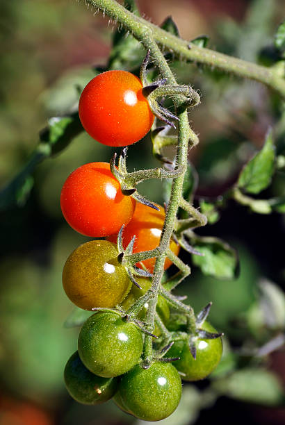 Cherry Tomatoes Cherry tomatoes, ripening on the vine neilliebert stock pictures, royalty-free photos & images