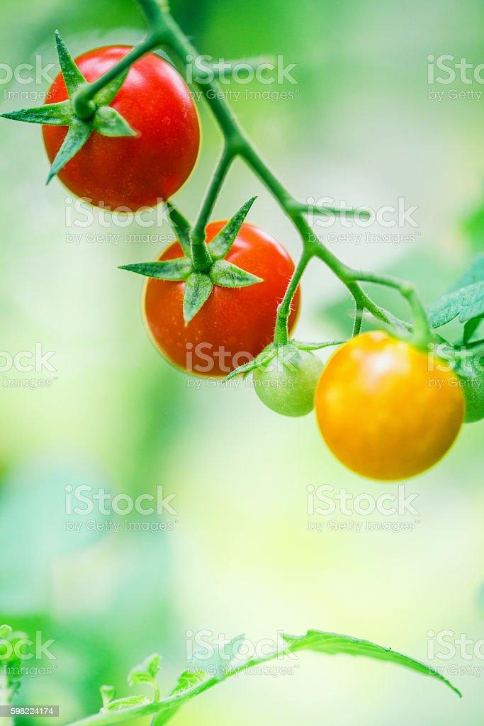 Tomates cereja  foto royalty-free