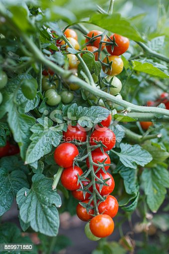 Cherry tomatoes in the garden