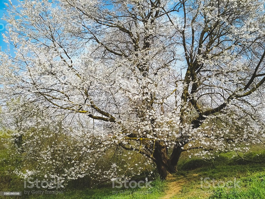 Cherry tree and blue sky in spring royalty-free stock photo