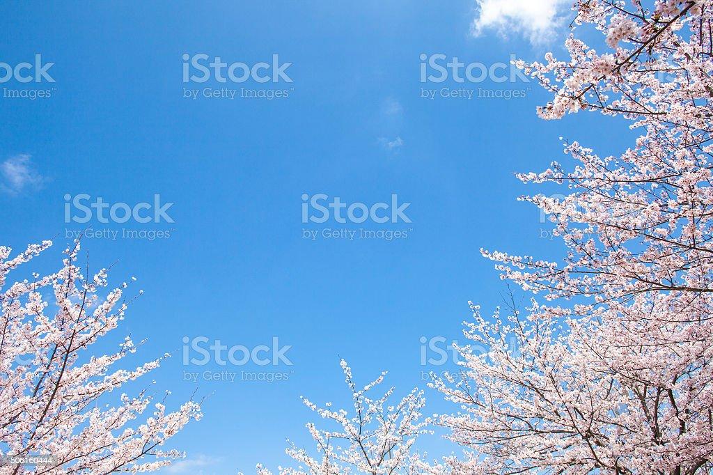 チェリーツリー、ブルースカイ ストックフォト
