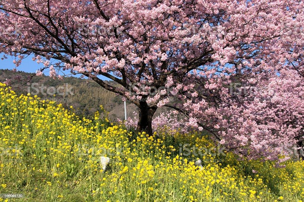Cherry tree and Nanohana Lizenzfreies stock-foto
