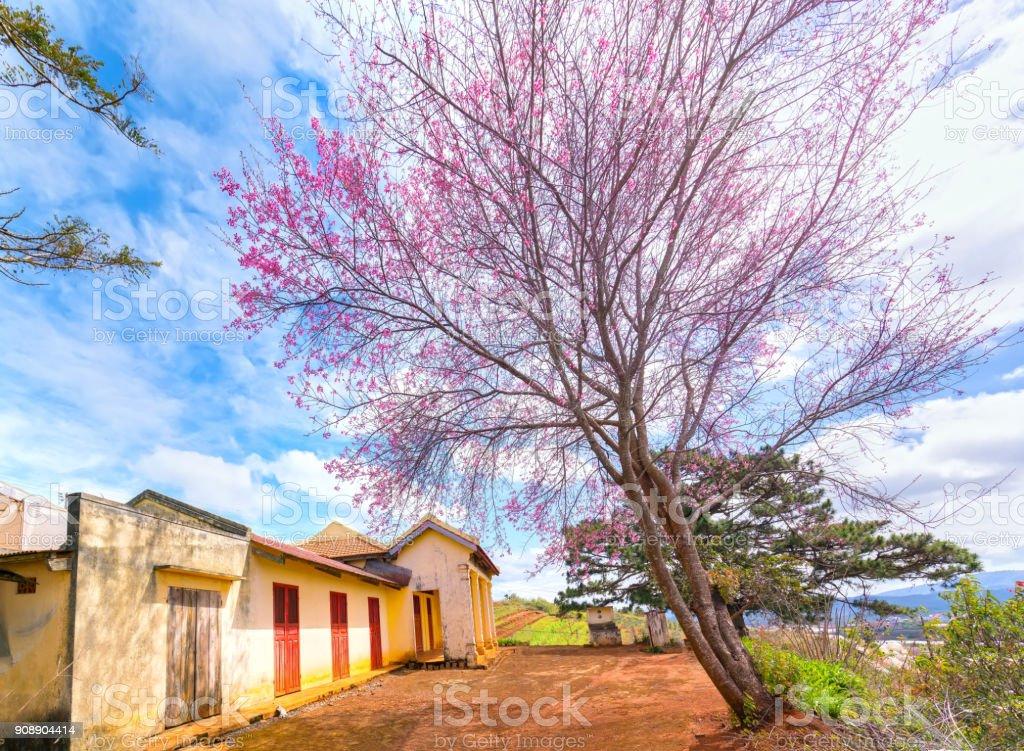 Kirschbaum, die Aprikosen blühen neben dem antiken Tempel – Foto