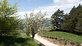 A cherry tree blooming with white flowers on a country road. Travel to Russia - Stavropol Krai, Kislovodsk.