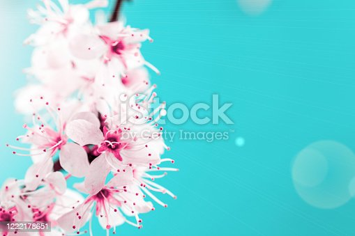 909680446 istock photo Cherry tree blossom. April floral nature and spring sakura blossom on soft blue background. Banner for 8 march, Happy Easter with place for text. Springtime concept. 1222178651