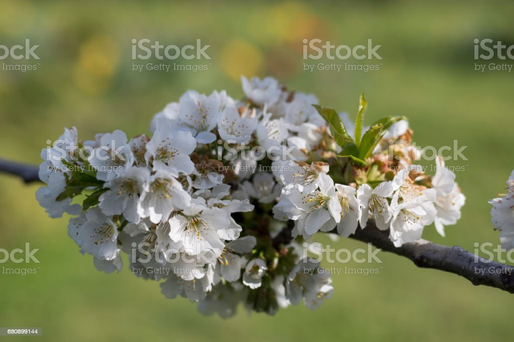 Cherry tree blossom on green background royalty-free stock photo