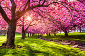 Cherry tree blossom explosion in Hurd Park, Dover, New Jersey