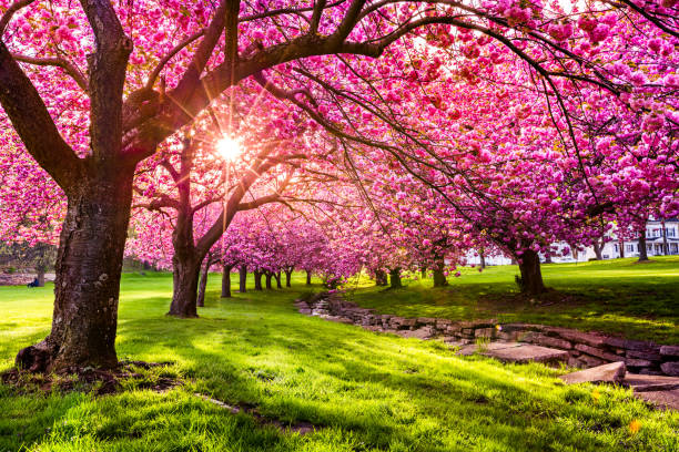 cherry tree blossom - blossom stock pictures, royalty-free photos & images