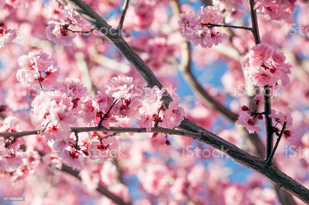 Cherry tree blssom stock photo
