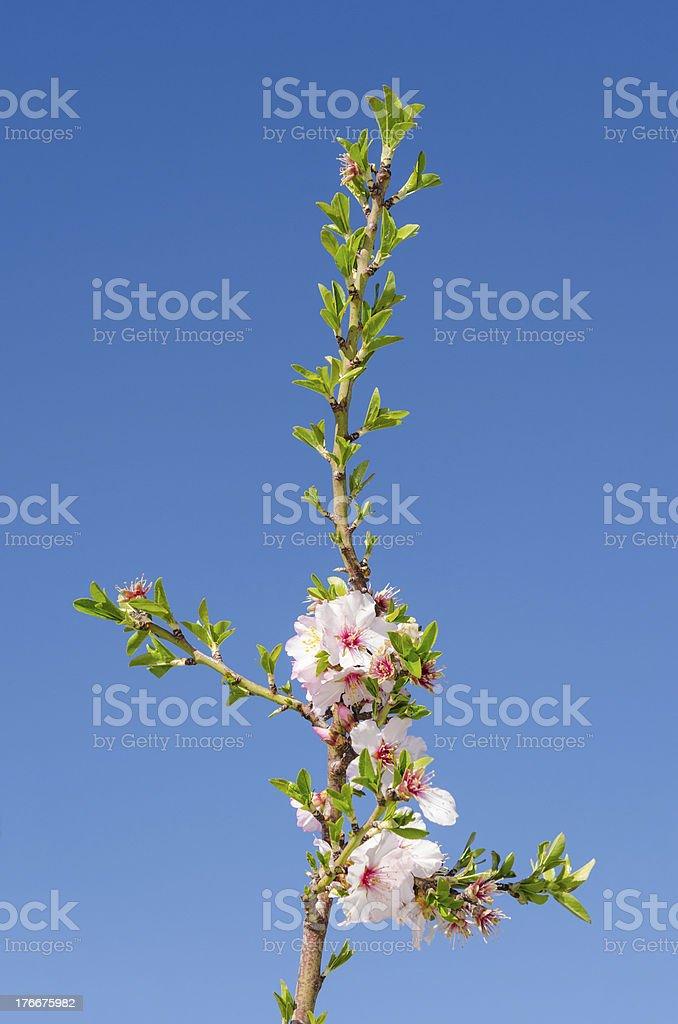 Cherry tree branch blossom against sky royalty-free stock photo