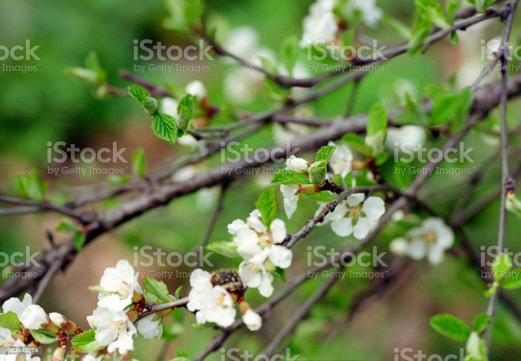 Cherry tree branch in bloom. Shot on film - Zbiór zdjęć royalty-free (Bez ludzi)