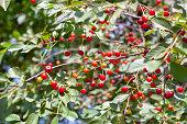 cherry tree branch. ripe red berries of fruit tree.