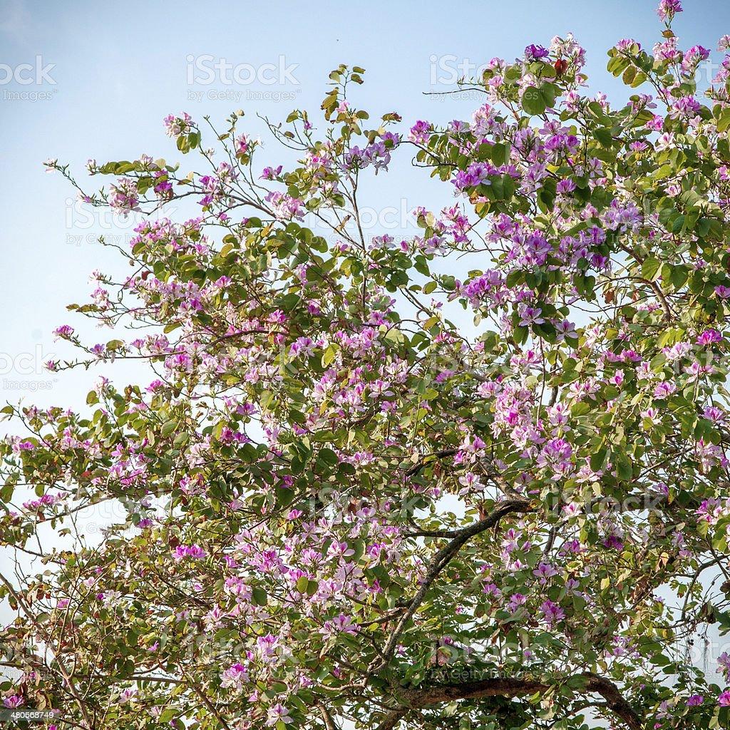 Cherry tree primer plano foto de stock libre de derechos