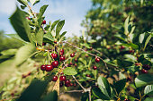 Cherry tree close-up.