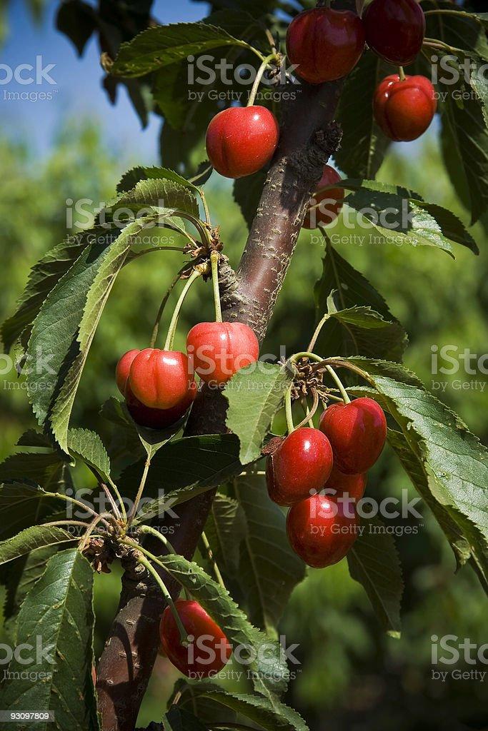 Cherry Tree Close-up royalty-free stock photo